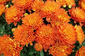 chrysanthemum6