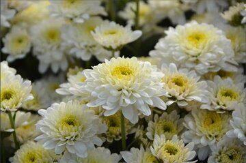 chrysanthemum4