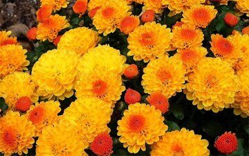 chrysanthemum3